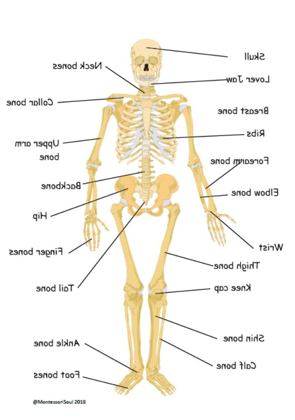 Human X-ray printable with common name labels