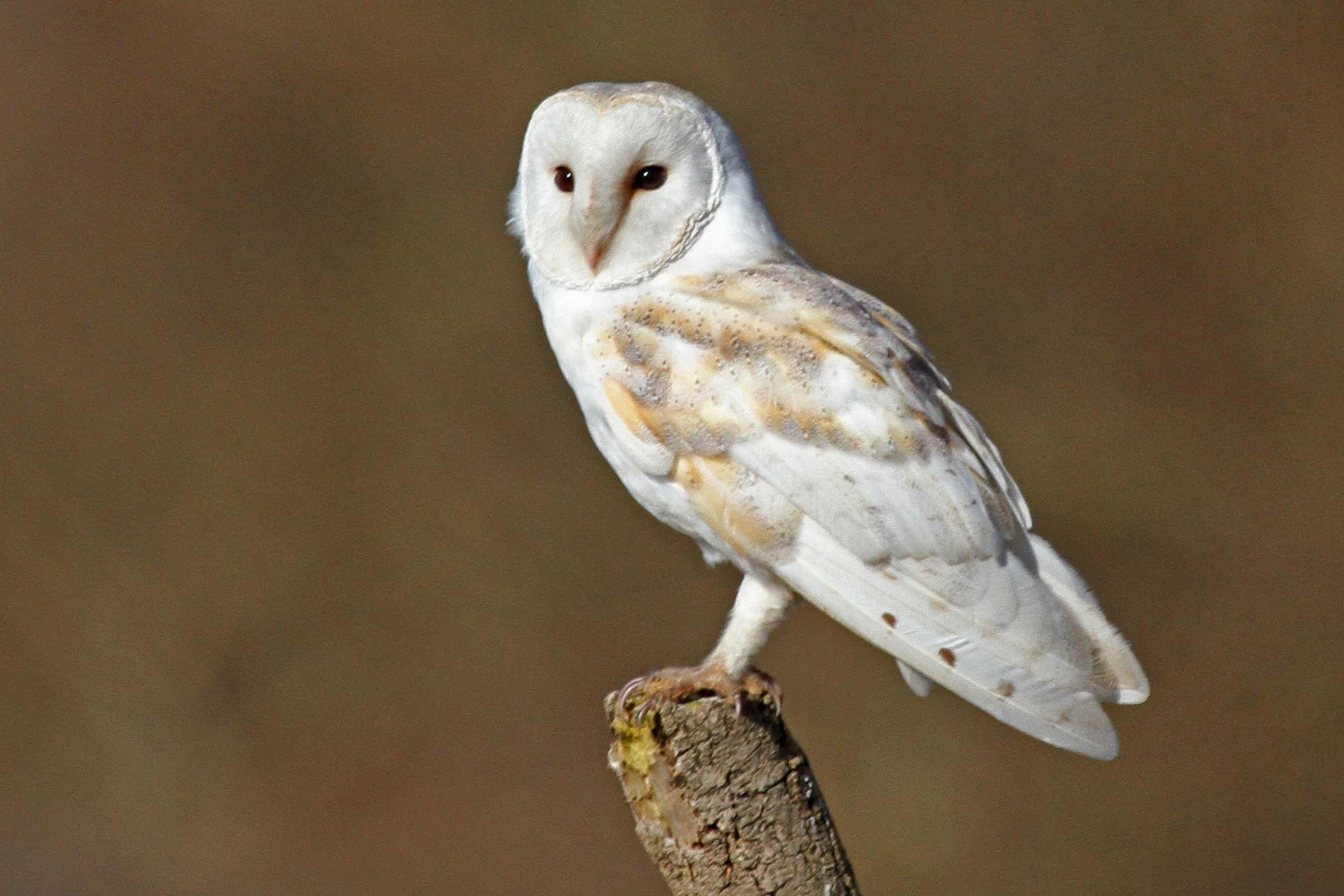 Free Hd Cute Baby Wallpaper Barn Owl Delight Moorland Association