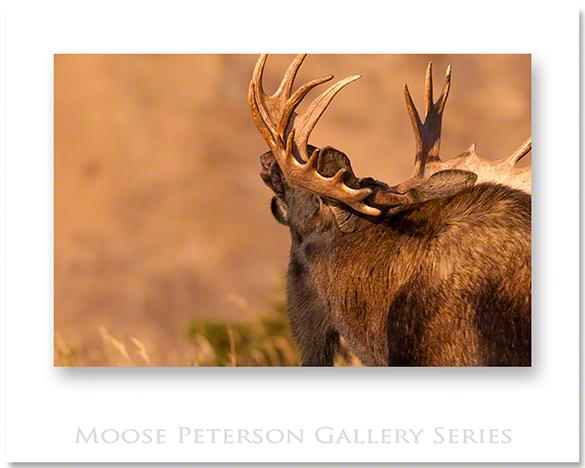 Alaskan Moose 2015