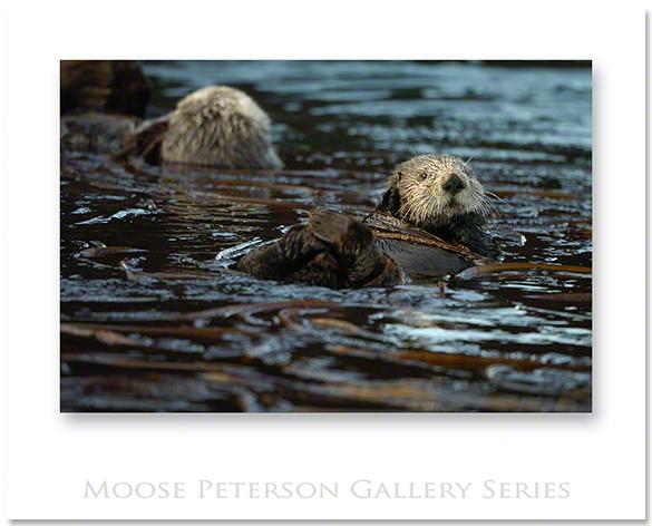 AlaskanSea Otter 3050