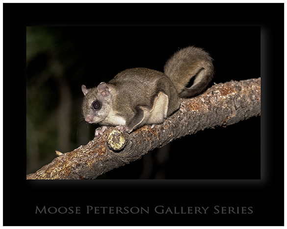 Northern Flying Squirrel 0082