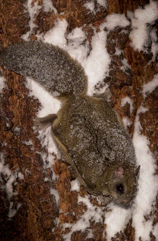 Northern Flying Squirrel 0024