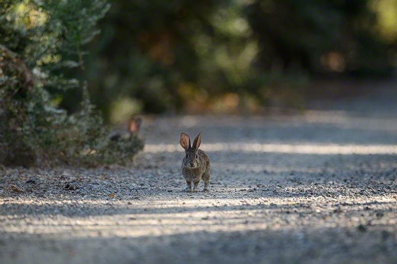 Riparian Brush Rabbit 0895