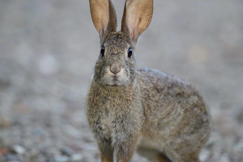 Riparian Brush Rabbit 1156