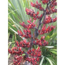 Small Crop Of New Zealand Flax