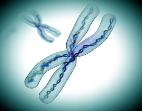Rendering of hromosomes. A protective effect of the second X chromosome has been identified in fruit flies. Credit: © Giovanni Cancemi / Fotolia