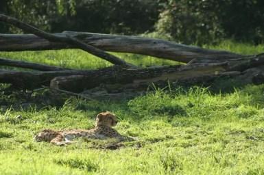 23_Zoo_Gepard