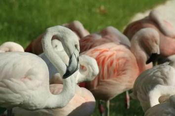 44_Zoo_Flamingo