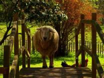 mouton pont