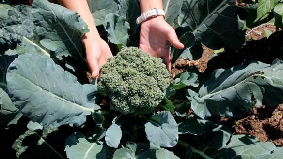 Garden_Broccoli