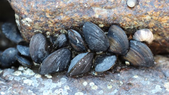 Fresh_mussels_near_Belfast_ME