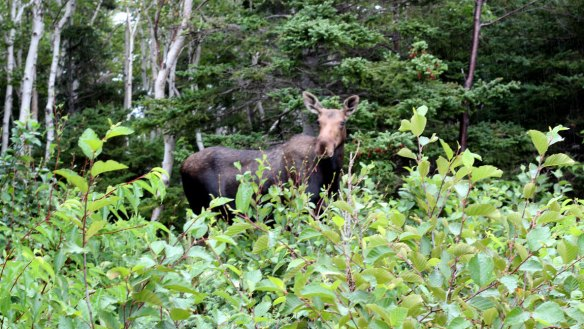 Moose_on_Cabot_trail