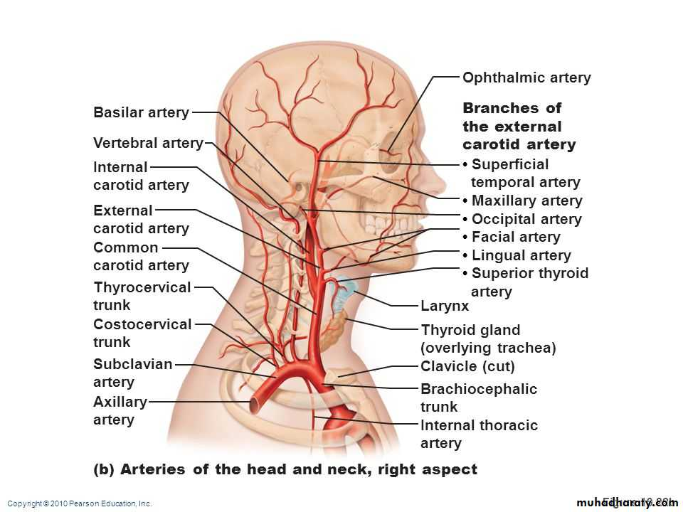 The Neck Basicmedical Keymajor arteries of the head and neck ...