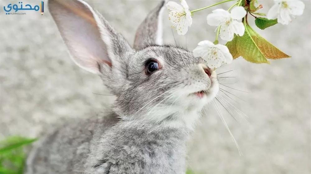Cute Rabbits Hd Wallpapers صور وخلفيات أرانب كيوت حديثة 2019 موقع محتوى