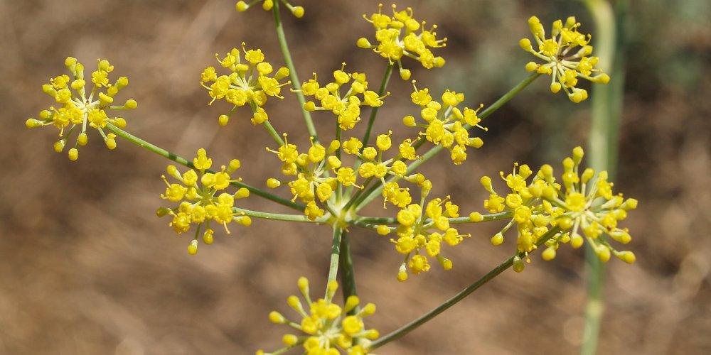 Foenicum vulgare