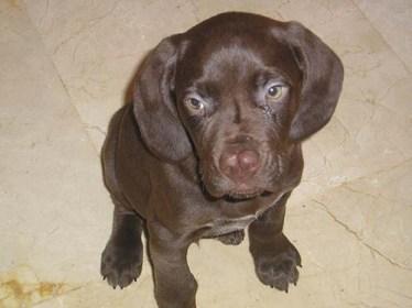 Braco Aleman Meses Resize 374 Weimaraner Cachorro Imagenes Perritos Con