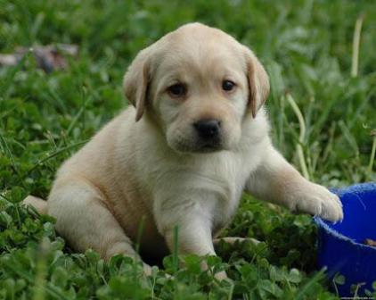 Cachorro de Golden Retriever de un mes