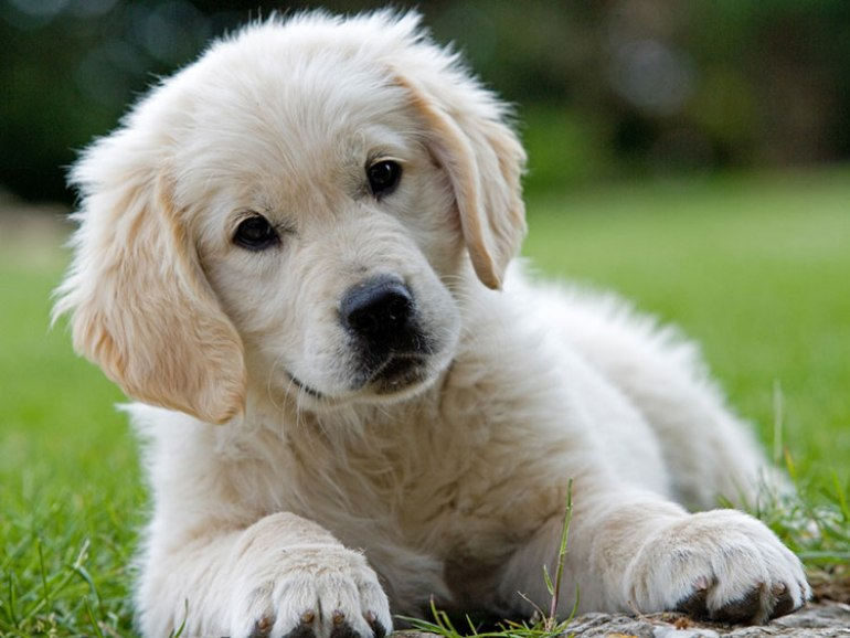 Cachorro de Golden Retriever de 3 meses.