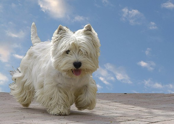 West Highland white terrier ejercicio
