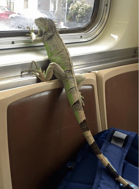 lizard charlie