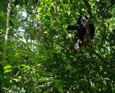 budongo chimps