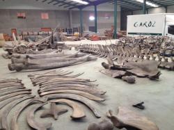 LA BALLENA DEL MUSEO DE CIENCIAS DE LOS YEBENES 2012 almacen de taxidermia Garoz