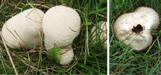 Meadow Puffball