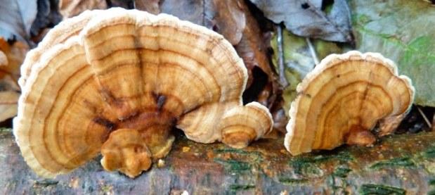 Turkeytail Bracket Fungus