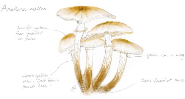 Armillaria-mellea-sketch-illustration