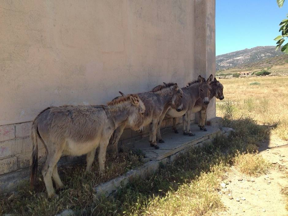 Donkeys are the only inhabitants of Asinara, together with boars, cats, goats...