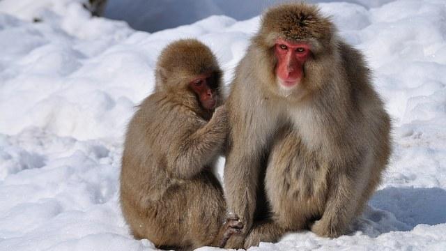 The famous snow monkeys of Japan - photo courtesy of David McKelvey (flickr)