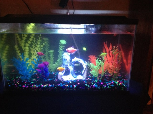 Glofish And Goldfish   2 10 Gal. Tanks W/ High Alkalinity And PH
