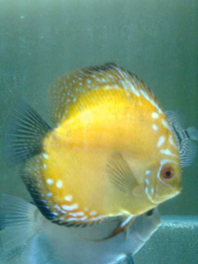 Check Out My Discus Fish | My Aquarium Club
