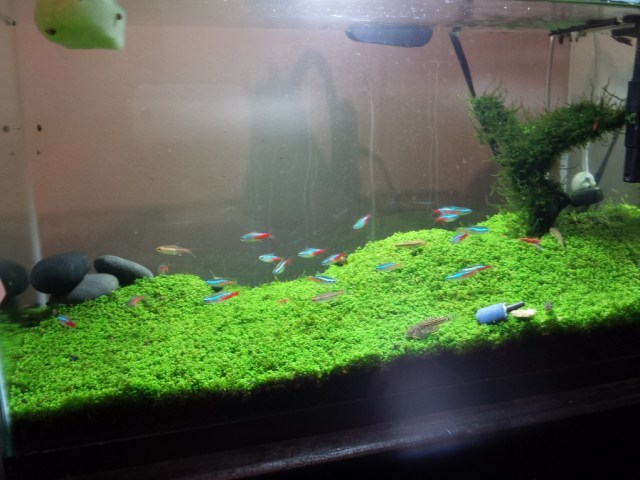 neon tetras are dying and i don t know why i also had one oto die to