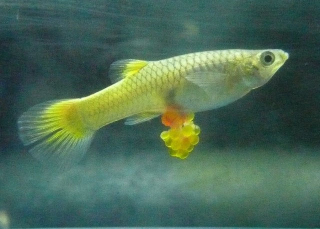 Guppy fish pregnancy stages pregnant guppy stages i have for Looking after koi