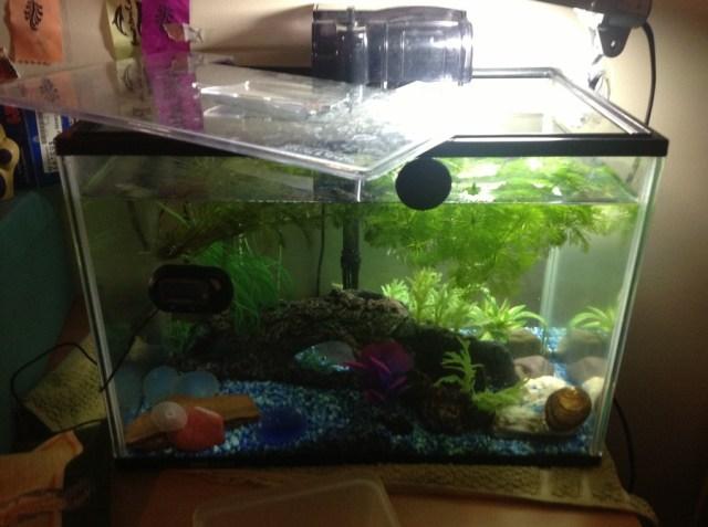 20 gallon fish tank how many fish dorion 39 s