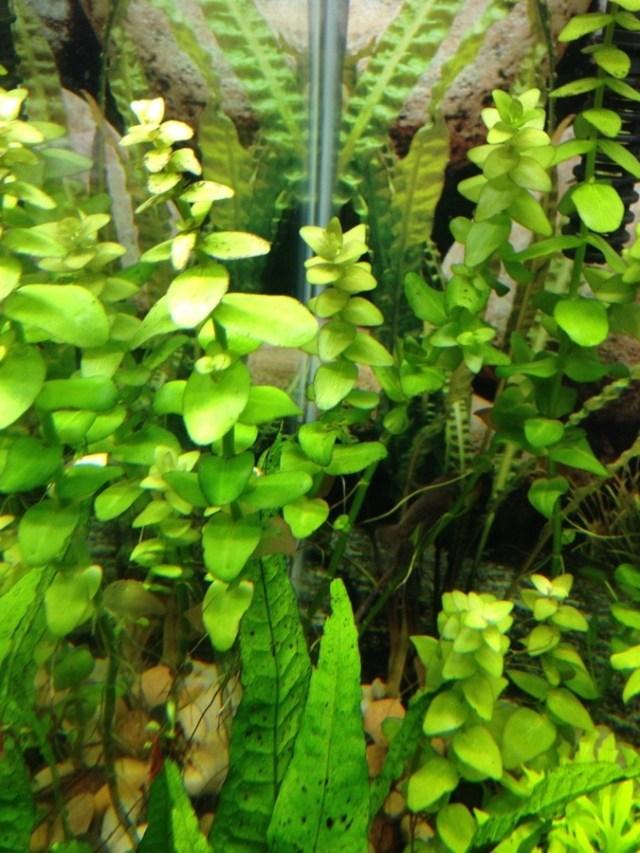 Black Spots On Live Plants. CO2? | My Aquarium Club