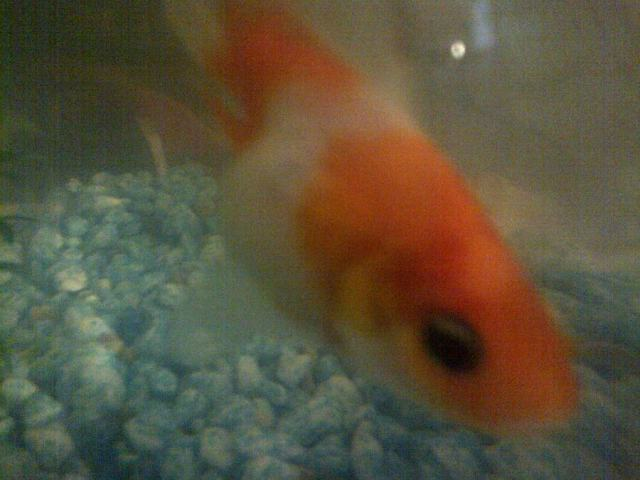My Fish Has One Eye That Looks Swollen And Its Turned Black It Looks