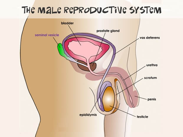 Male reproductive system Biology Assignment Help