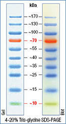 Prestained Dual Color Protein Molecular Weight Marker 10