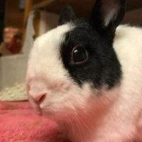 Medical ER Fund for Clementine Small & Injured Shelter Bunny