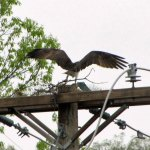 A male osprey lands Monday with a stick for his nest, two days after Connecticut Light & Power workers removed a nest on the pole, citing safety concerns. –CONTRIBUTED