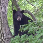 A black bear, like the one in the picture above from the Department of Energy and Environmental Protection's website, has been sighted in Prospect Monday and Tuesday.