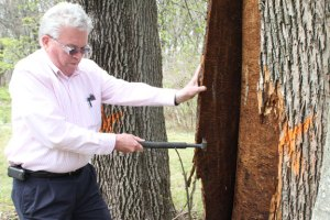 Prospect Mayor Robert Chatfield peels the bark off a dead ash tree on Old Log Town Road. The invasive emerald ash borer has left trails in the wood beneath the bark, killing the tree. It is slated to be cut down. –REPUBLICAN-AMERICAN