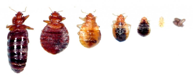 stages of bed bugs xv-gimnazija