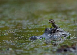 Alligator River Rider
