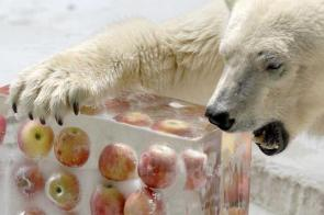 Polar Bear Apple Ice Cubes