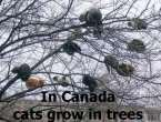 In canada cats grow in trees.