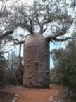 Teapot Baobab Tree