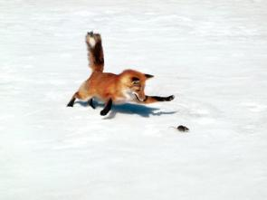 Fox Chasing Mouse Wallpaper